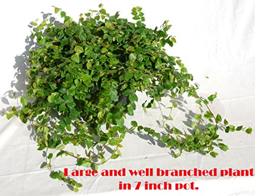 Creeping Fig (Ficus Repens) Green in 7
