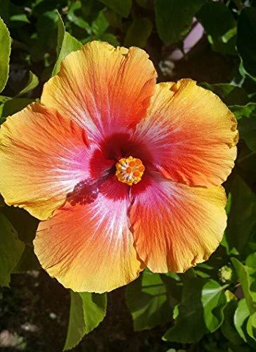 Best home balcony garden plant -Hibiscus