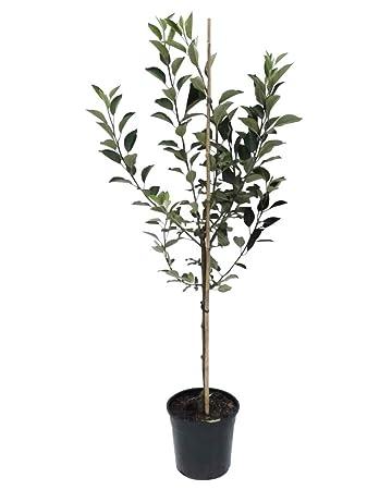 S schorfresistenter Herbstapfel Buschbaum 150-170 cm 10 Liter Topf Reglindis