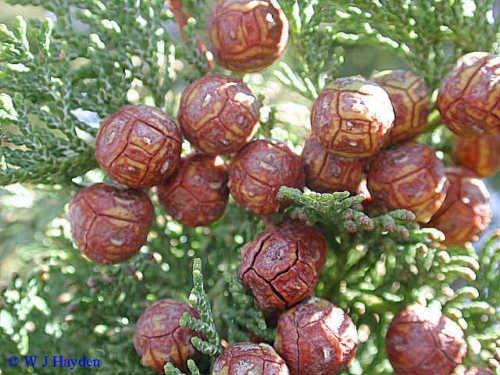 Hinoki Cypress Bonsai (New Hinoki Cypress , Chamaecyparis Obtusa , 50 + Tree Seeds (Evergreen , Bonsai ))