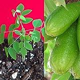 Mini Garden Bilimbi Averrhoa Seedling Cucumber Tree Sorrel Potted Plant