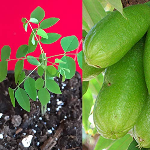 Mini Garden Bilimbi Averrhoa Seedling Cucumber Tree Sorrel Potted Plant by Mini Garden