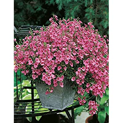 Hot - Diascia Barberae/Twinspur- Pink Queen 50 Seeds - Great for Hanging Baskets, Containers and Ground Cover! : Garden & Outdoor