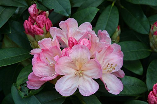 Rhododendron Hybrid - Rhododendron Percy Wiseman #1 Container Size Plant