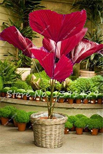 Sago Palm Bonsai Tree (ChinaMarket 50 pcs/ bag Sago Palm Tree seeds. perennial bonsai flower seeds, Garden Novel Plants)