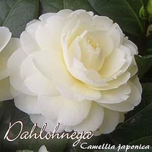 Kamelie 'Dahlohnega' - Camellia japonica - 7 bis 8-jährige Pflanze buschiger