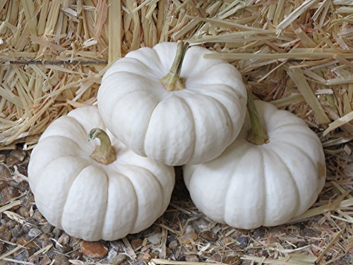 (15 WHITE BABY BOO MINI PUMPKIN Miniature Cucurbita Pepo Vegetable)