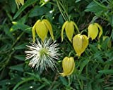 Clematis tangutica | Old Mans Beard | Russian Virgins Bower | 20_Seeds