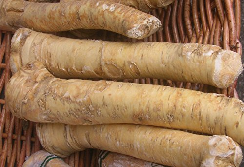 - Horseradish Roots - 1LB Organic Bare Root Ready to Eat or Plant 1 Pound 1 LB
