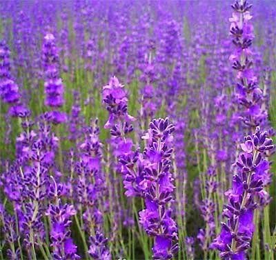500-true-english-lavender-vera-lavender-augustifolia-vera-herb-flower-seeds