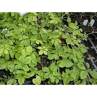 Gynostemma pentaphyllum, Jiaogulan Starter Plant (1 Plant) : Garden & Outdoor