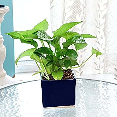 Exotic Green Indoor Oxygen & Air Purifier Plant Golden Pothose In Blue Ceramic Pot Ornamental & Shade Trees at amazon
