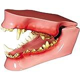 Canine/Dog Jaw Anatomical Model