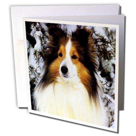 (Dogs Sheltie/Shetland Sheepdog - Sheltie - 6 Greeting Cards with envelopes (gc_640_1))