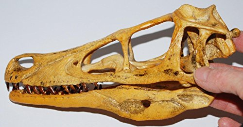 Cast Replica (VELOCIRAPTOR Dinosaur Skull Cast (Replica - NOT REAL FOSSIL - Reproduction))