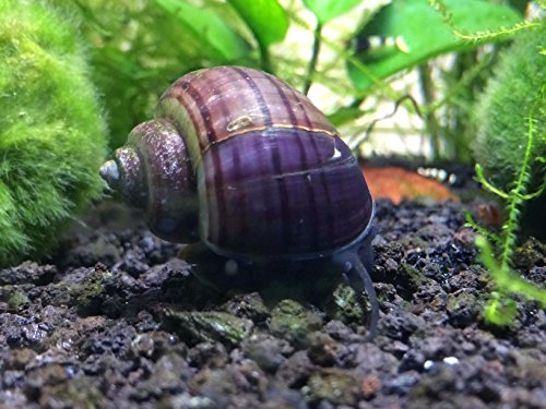 - Aquatic Arts 3 Purple Mystery Snails (Pomacea bridgesii) (young adult 1/2 to 2+ inch) - Algae Eaters by