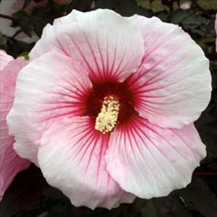 Amazoncom 10 Summer Storm Hardy Hibiscus Seeds Garden Outdoor