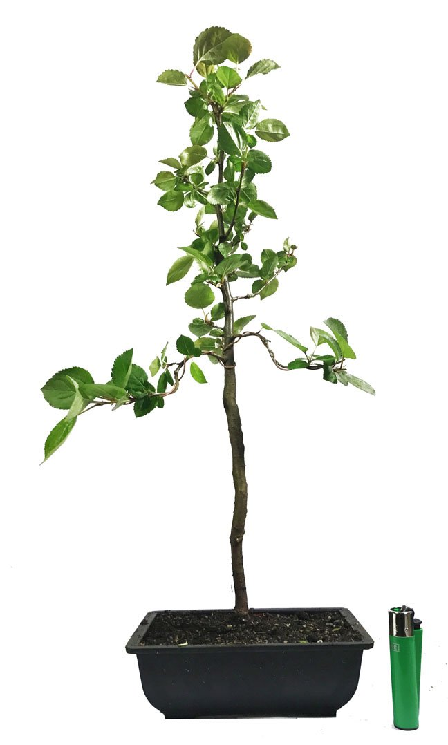 Crab Apple Malus Halliana Outdoor Bonsai Tree Actual Tree Buy Online In Bahamas At Desertcart Productid 59725995