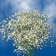 GlobalRose 30 Stems of Baby's Breath Gypsophilia - Fresh Flowers for Delivery