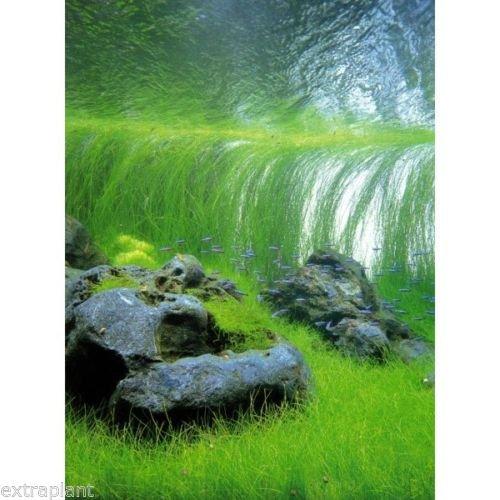 Giant Hairgrass Eleocharis Vivipara Bunch Live Aquarium Plants BUY2GET1FREE