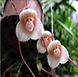2016 New Arrival 20pcs/Bag Mixed Colourful Monkey Face Orchid Seeds Cream Potted Peru Orchis Simia Senior Phalaenopsis Bonsai