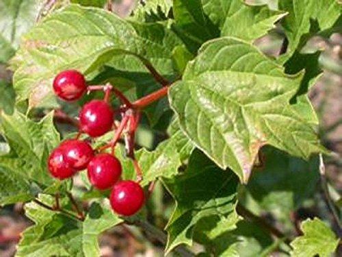 Viburnum EDULE- Edible - Starter Plant by dogwooderitternet