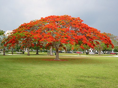 (2 Red Royal Poinciana live Tree - Red Delonix Regia live Tree)