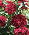 Sweet William 'Black Magic' (Dianthus Barbatus L.) Flower Plant Seeds, Perennial Heirloom