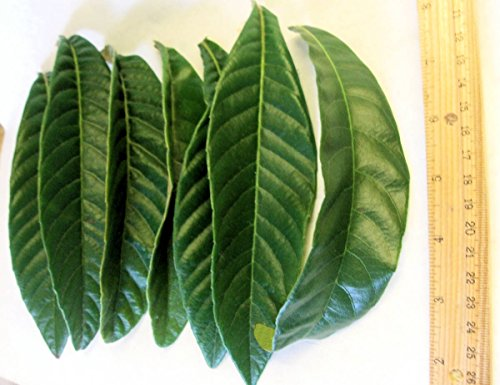 15 Pieces Grade A Fresh Picked Loquat Leaves (Loquat Leaf)
