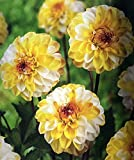 Double Jill Pompon Dahlia - #1 Size Root Clump