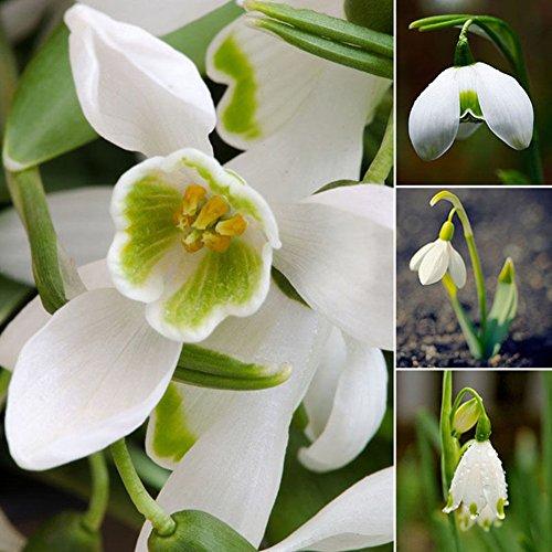 Bluelans 200 Pcs Snowdrop Galanthus Seeds Autumn Bulbs Growing Gardening Spring Flower