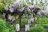 Seeds and Things Blue Japanese Wisteria Vine 5 Seeds - Hard to Find!