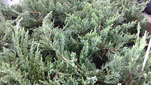 juniper blue rug - 3