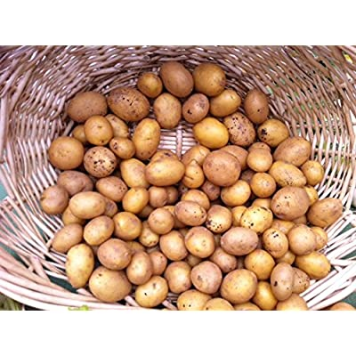 AAA Certified German Butterball Potato Seed 3 LBS Non GMO Hand Selected Quality : Garden & Outdoor