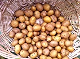 buy AAA Certified German Butterball Potato Seed 3 LBS Non GMO Hand Selected Quality now, new 2020-2019 bestseller, review and Photo, best price $12.99