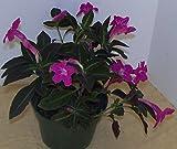Ruellia Makoyana Trailing Velvet Plant Awesome Foliage