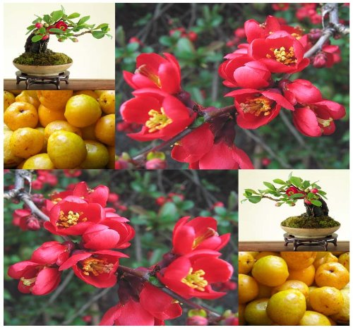 20 x Japanese Flowering Quince, Chaenomeles japonica, Tree Seeds (Hardy, Fragrant) - Zones 4-9 - By (Flowering Quince Fruit)