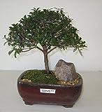 [Bonsai Gardens] Highest Quality, Medium Dwarf Australian Brush Cherry Bonsai Tree