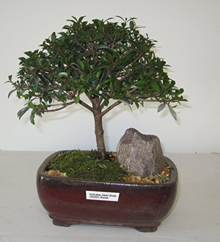 [Bonsai Gardens] Highest Quality, Medium Dwarf Australian Brush Cherry Bonsai Tree