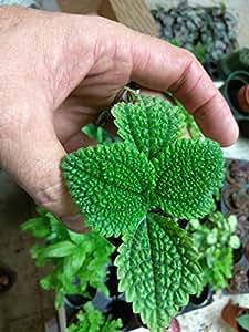 """PILEA - FRIENDSHIP PLANT - MOON VALLEY - 1 PLANT - 3"""" pots"""
