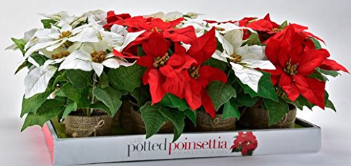 Potted Poinsettia (Cordless LED Lighted Fabric Potted Poinsettias- 2 pc Set (One each of Red & White ) Featuring Burlap Wrapped Container - 12 Inches Tall / Great for Offices, Hospitals, Homes)