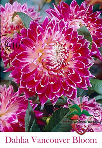 3 Dinner Plate Dahlia Vancouver Tuber Bulb Clump, Perfect Mothers Day Gift, Giant Flower Blooms!