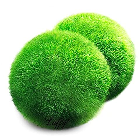 2 Luffy Giant Marimo Moss Balls -- Bring home Japan's National Treasure - Use it as Aquarium Decor or a Perfect heirloom Gift - Symbolize eternal love - Eco-friendly, Good luck - Treasure Ball