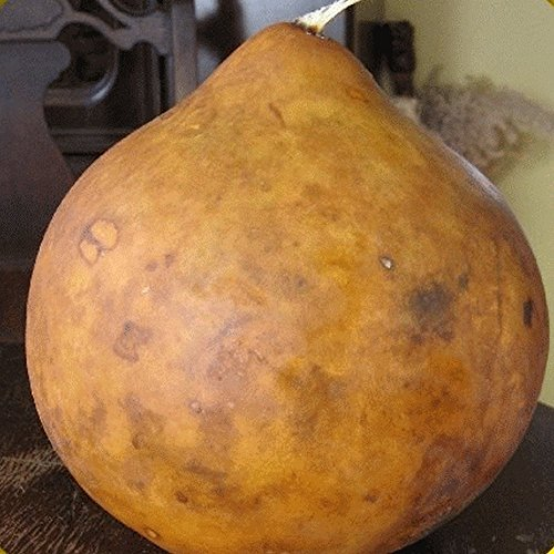 Everwilde Farms - 25 Bushel Gourd Seeds - Gold Vault Jumbo Seed Packet