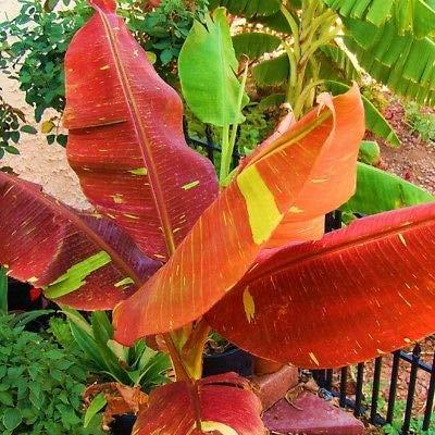 2 Red Banana Musa Pisang Ornamental Live Sml Potted Banana Plant by MANGO (Image #3)