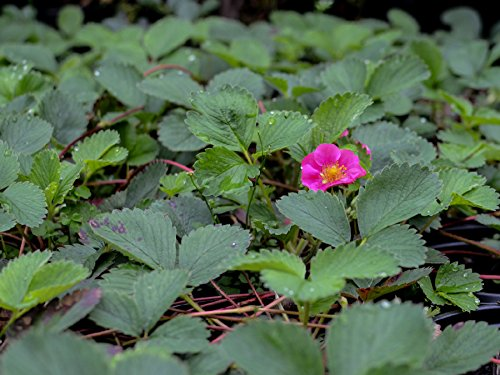 Ornamental Strawberry Aka Fragaria Chiloensis