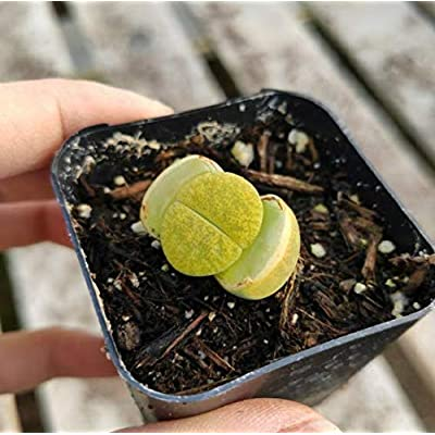 "Fresh Rare Succulent Plant Green Lithops Shown in 2"" Pot Get 1 Easy Grow #SDP01YN : Garden & Outdoor"