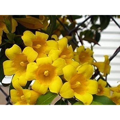 5 Live Carolina Jasmine Vines : Garden & Outdoor