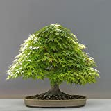 Adarl 20 pcs / Bag Rare Japan Maple Seed Bonsai Maple SeedsTree Seeds Balcony Plants For Home Garden Blue