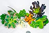 Fat Plants San Diego Small Succulent Cuttings